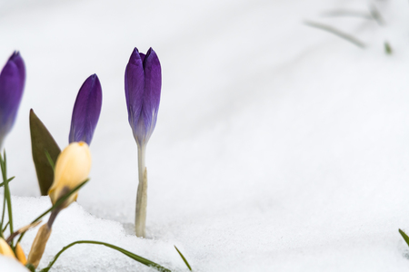 Closeup of a violet crocus flower in a snowy flower bed with copy space
