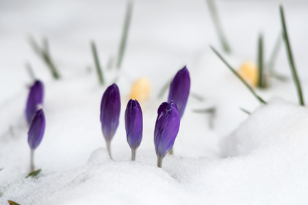 Early spring season with violet crocus flowers in a snowy garden