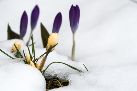 Springtime view with colorful crocuses in a flower bed with melting snow Stock Photo