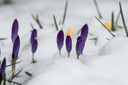 Closeup of violet crocuses in a flower bed with melting snow Stock Photo