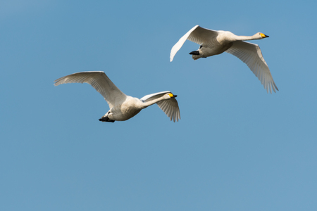 Pair of sunlit flying Whooper Swans, Cygnus Cygnys, by a blue sky Stock Photo