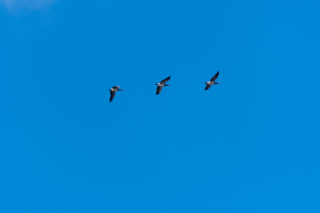 Three migrating geese, Barnacle Goose, in a row by a clear blue sky Stock Photo