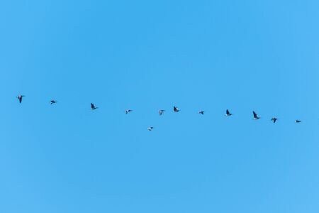 Flock with migrating Barnacle Goose by a blue sky