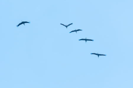 Flock with flying common cranes by a blue sky