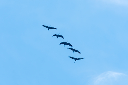 Formation of migrating Common Cranes by a blue sky