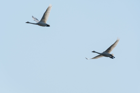 Backlit pair of migrating whooper swans by a blue sky Stock Photo