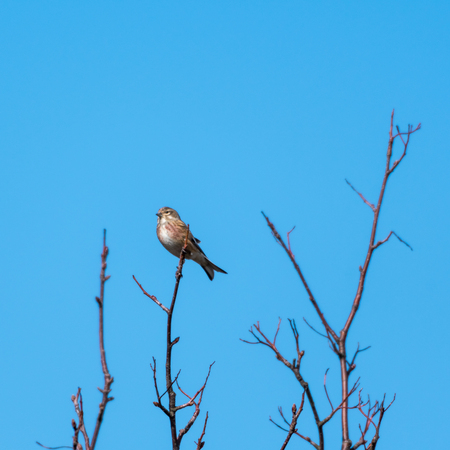 Sunlit Common Linnet, Carduelis Cannabina, sitting on a twig with a clear blue sky as background
