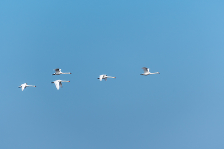 Beautiful flying white swans, Mute Swans, in formation against a blue sky