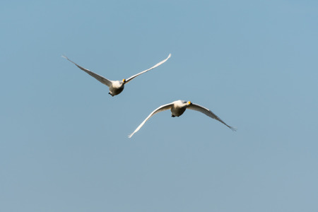 Front view of two flying Whooper Swans by a blue sky