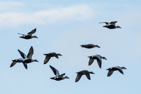 Flying Common Eiders, Somateria Molissima, in formation by migration in the Baltic Sea in Sweden Stock Photo