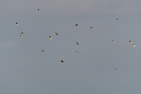 Lots of sunlit migrating Lapwings, Vanellus Vanellus, flying in the sky