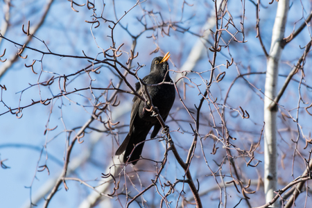 Beautiful springtime sign - a sunlit male Blackbird singing from a tree