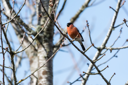 Sunlit beautiful male Bullfinch, Pyrrhula Pyrrhula,  feeding in a bare tre