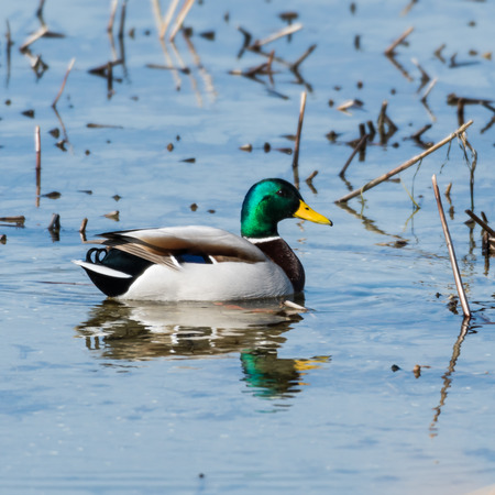 Beautilful male Mallard, Anas Platyrhynchos, swimming in a natural habitat