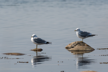 Pair of Common Gulls, Larus Canus, standing on stones in the sunshine by spring season