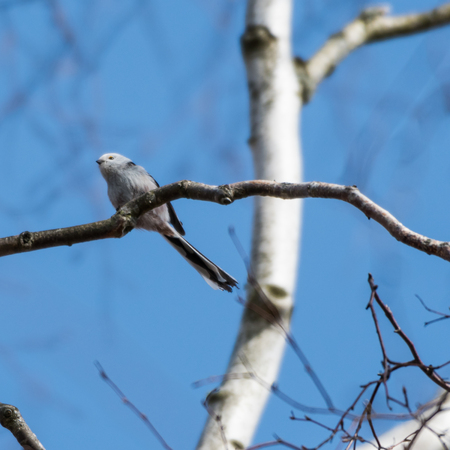 Cute Long-tailed Tit,  Aegithalos Caudatus, on a twig in a birch tree Stock Photo