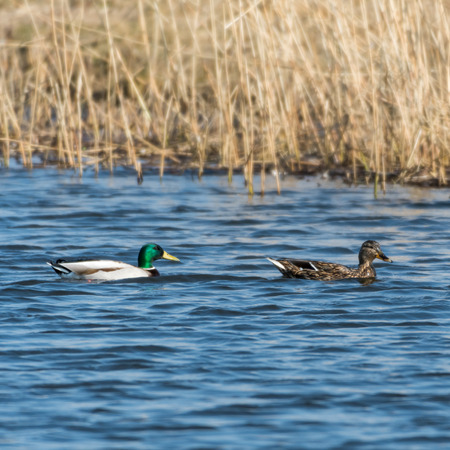 Beautiful Mallards, Anas Platyrhynchos, swimming in a sunlit natural habitat