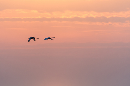 Couple of flying Mute Swans, Cygnus Olor, by a colorful sky at sunset