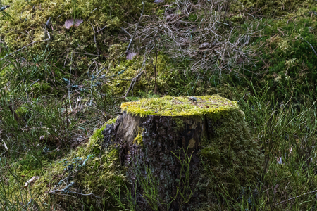 Forest ground with an old moss-grown tree stump