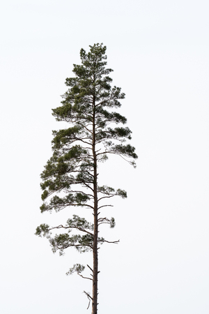 Single growing pine tree by a white background Stock Photo