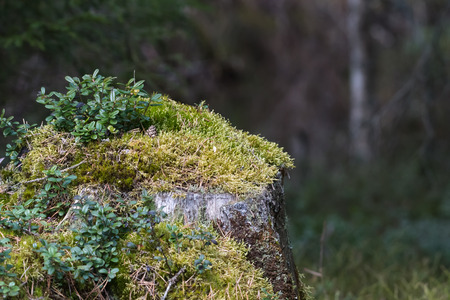 Old moss-covered tree stump with growing lingonberry leaves