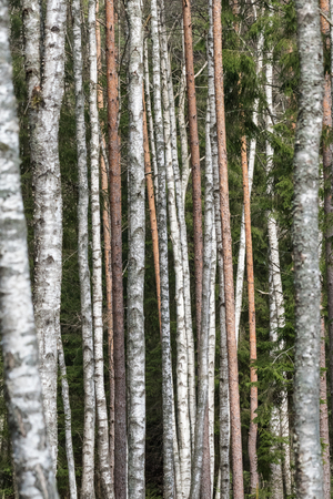 Pattern of sunlit pine and birch tree trunks Stock Photo