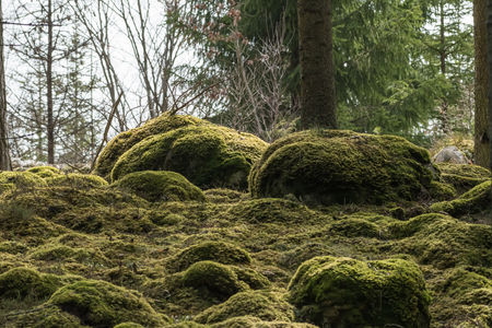 Moss covered ground in a beautiful coniferous forest