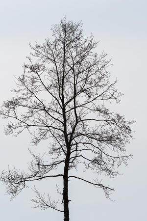 Silhouette of a single bare alder tree against a bright background Stock Photo