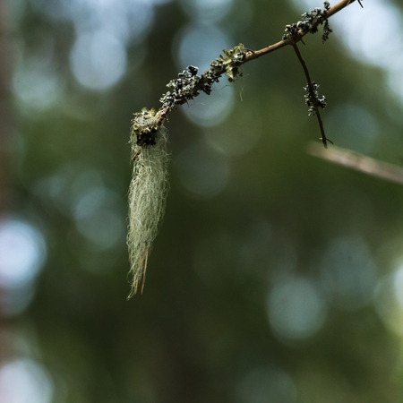 Closeup of beard moss hanging on a twig