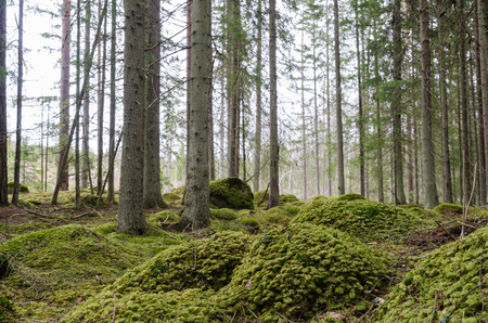 Green environment - coniferous forest with moss covered ground and spruce tree trunks