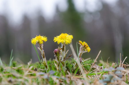 Group of coltsfoot flowers captured from a low perspective