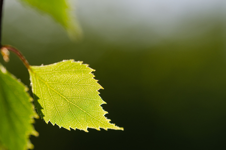 Closeup of a backlit birch tree leaf by a blurred natural green background Stock Photo