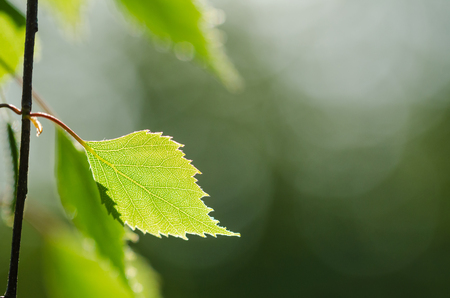 Birch tree twig with a beautiful backlit leaf by a natural blurred background