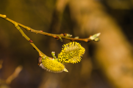 Blossom sunlit willow catkins close up