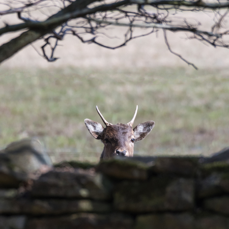 Curious deer animal  watching from behind a stone wall