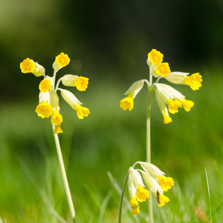 Beautiful Cowslip flowers closeup by a natural green background Stock Photo