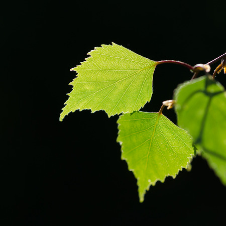 Beautiful textured backlit birch leaf by a dark background Stock Photo