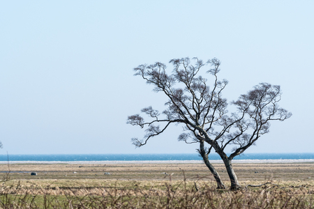 Lone windswept tree by the coast at the swedish island Oland in the Baltic Sea Stock Photo