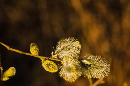 Closeup image of sunlit blossom willow catkins Stock Photo