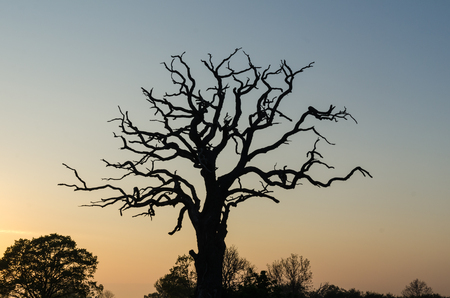 Old mighty dead oak tree silhouette by a colorful sky