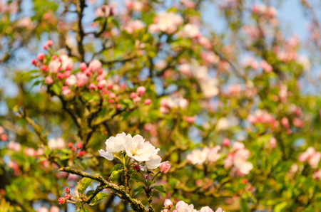 Detail from a bright blossom apple tree Stock Photo