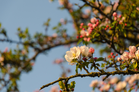 Focus on one apple tree flower in a beautiful blossom tree
