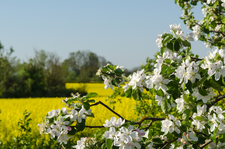 Closeup of a blossom  tree by a rapeseed field Stock Photo
