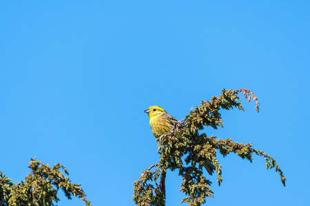 Beautiful sunlit male Yellowhammer on a juniper twig Stock Photo