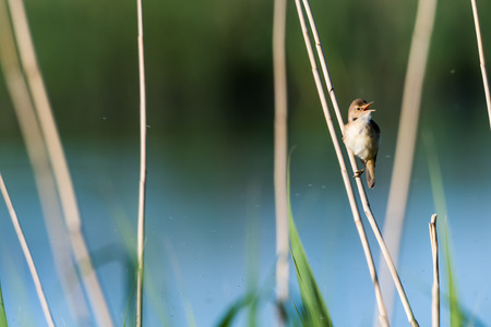 Singing Reed Warbler, Acrocephalus Scirpaceus, in its natural habitat at the swedish island Oland