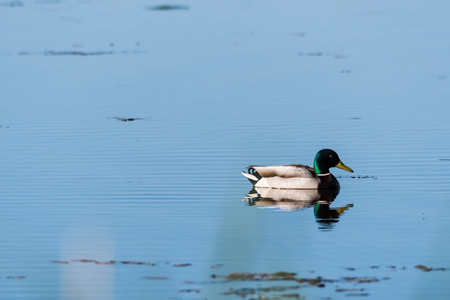 Beautiful sunlit Mallard, Anas Platyrhynchos, swimming in a pond with water reflections Stock Photo