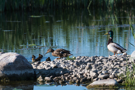 Male and female Mallards,  Anas Platyrhynchos, with duckling in their natural habitat Stock Photo