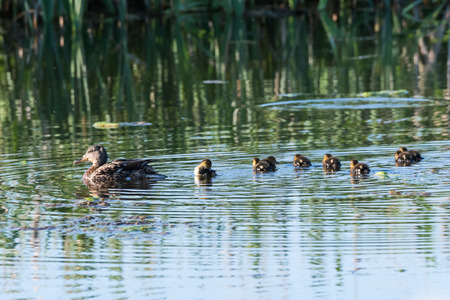 Female Mallard, Anas Platyrhynchos, swimming with her chicks in a pond Stock Photo