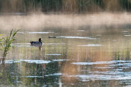 Male Mallard duck in a misty pond by early morning in spring season