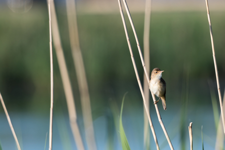 Reed Warbler, Acrocephalus Scirpaceus, sitting in the reeds at the swedish island Oland Stock Photo